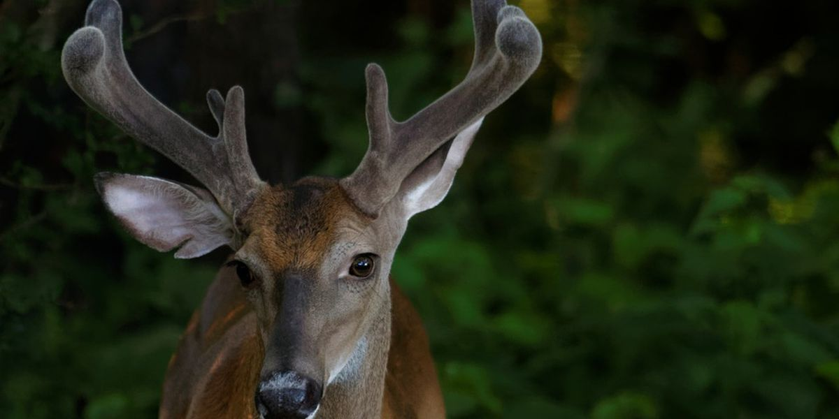 New S.C. deer hunting regulations to take effect this year