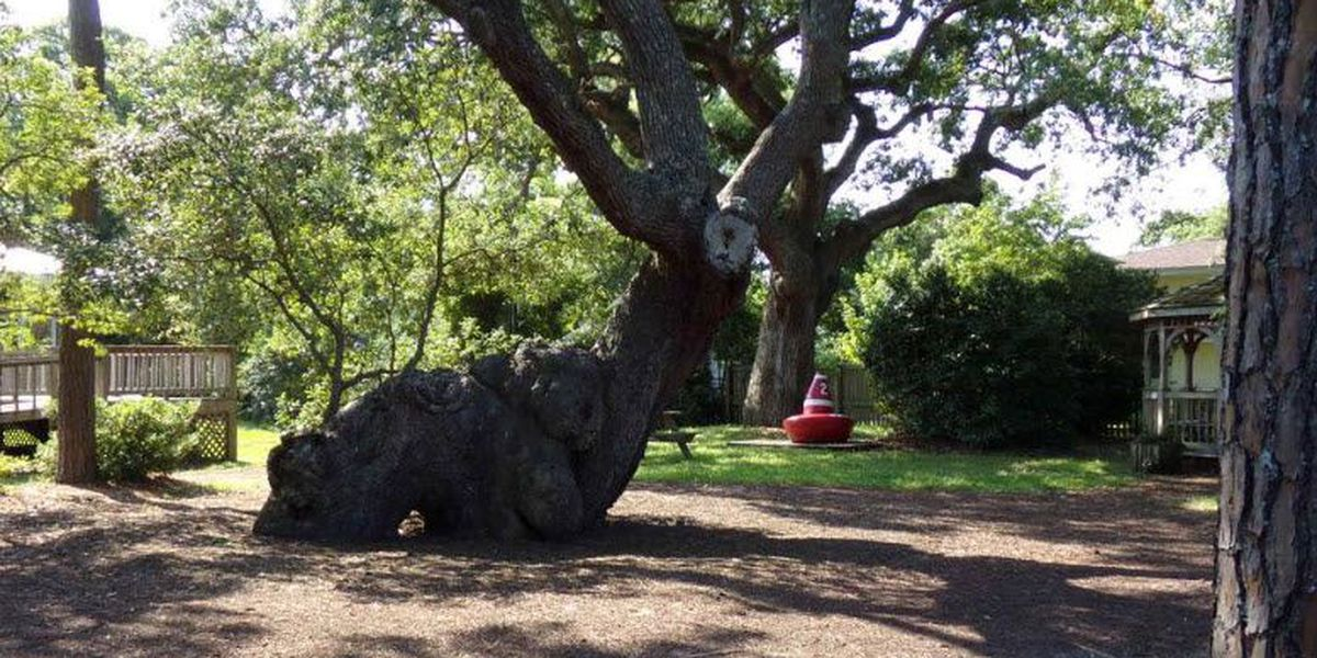 A North Carolina oak tree dating back 800 years is under siege. Can it be saved?