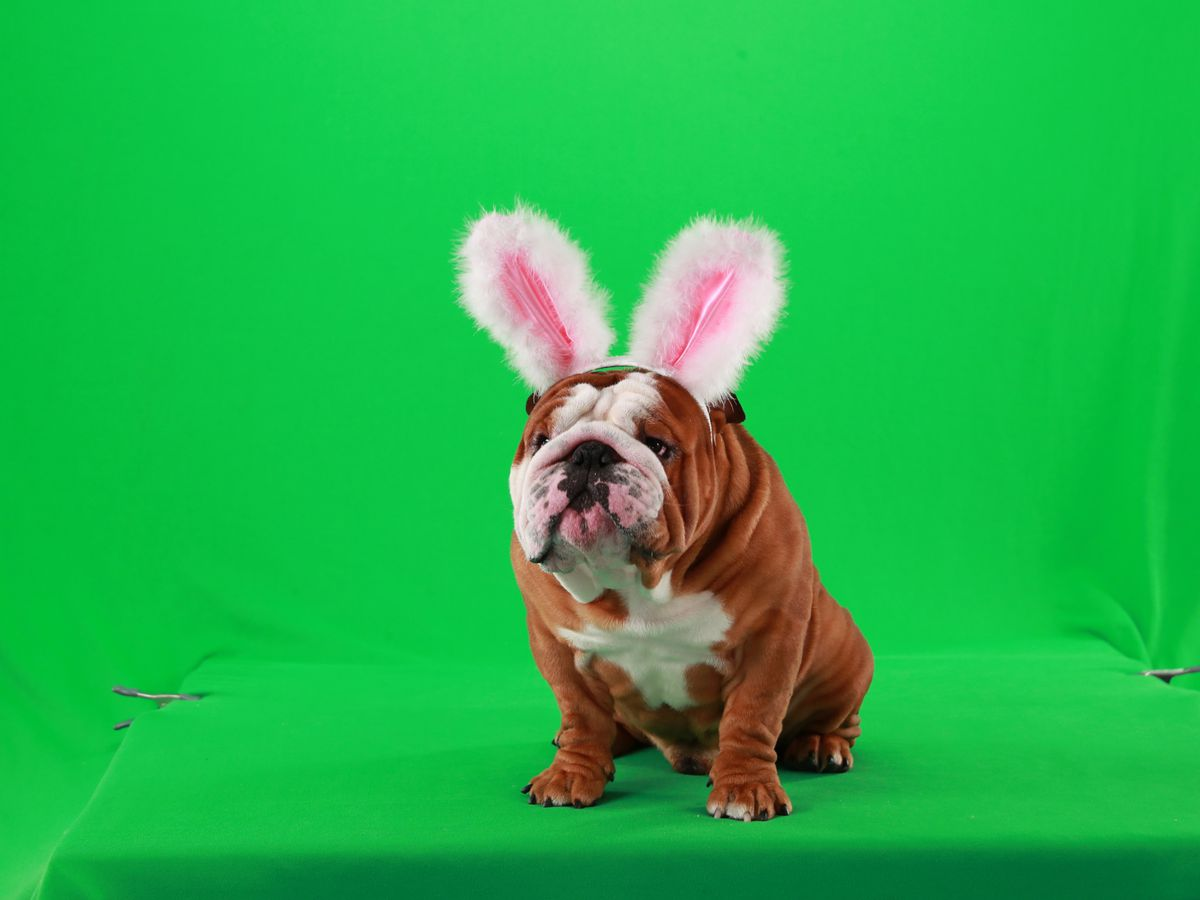 See Henri the English bulldog in Cadbury's new 'Clucking Bunny' ad