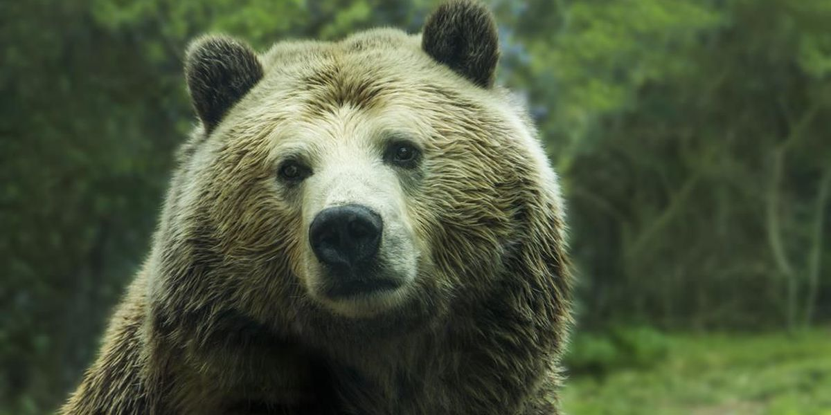 Grizzly bears beg for tourists' food at Cherokee Bear Zoo. Lawsuit hopes to free them.
