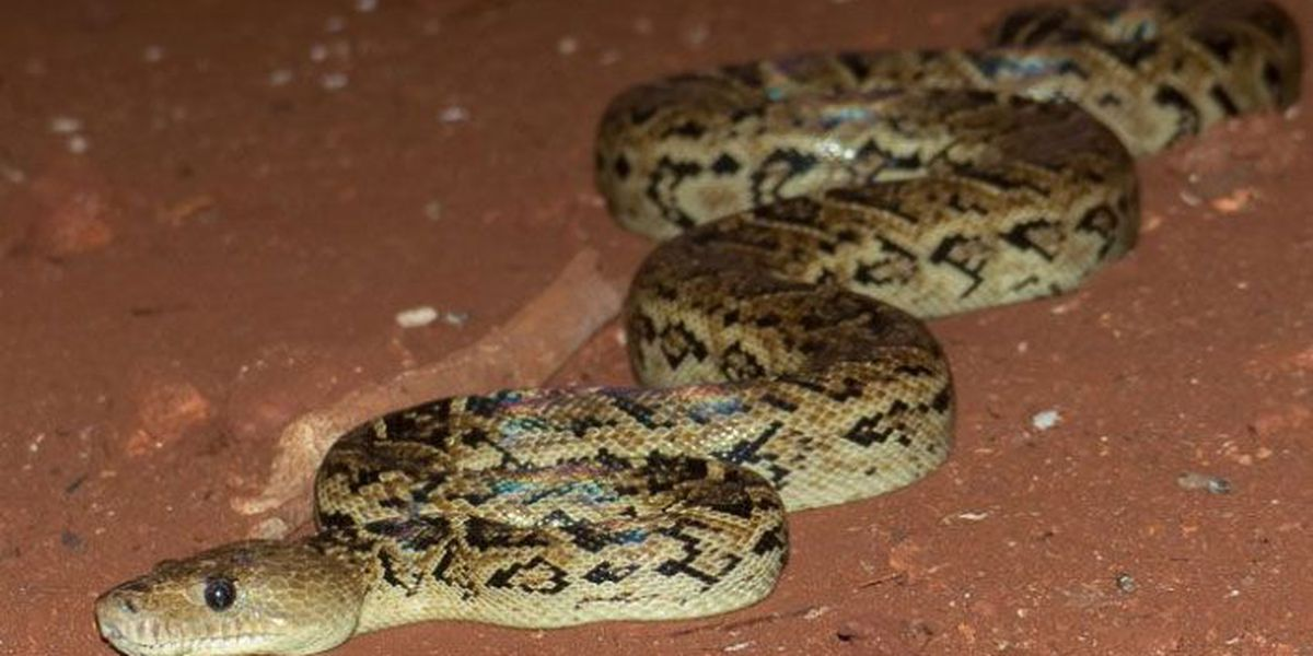 Ummmm... Scientist discovers snakes that hunt in packs