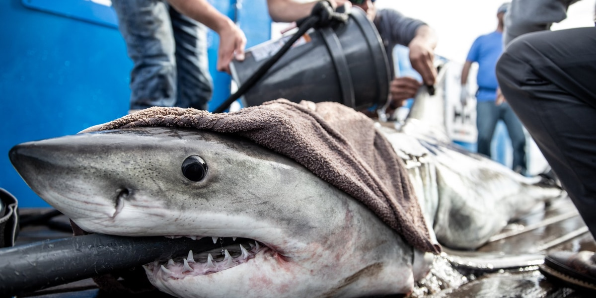 Researchers track several great white sharks foraging off the Carolina Coast