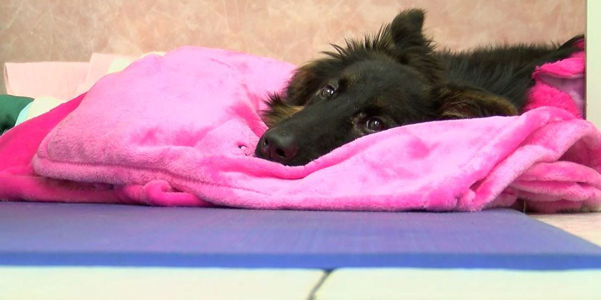 9-month-old abused puppy gaining weight, taking first steps after rescue from Myrtle Beach motel
