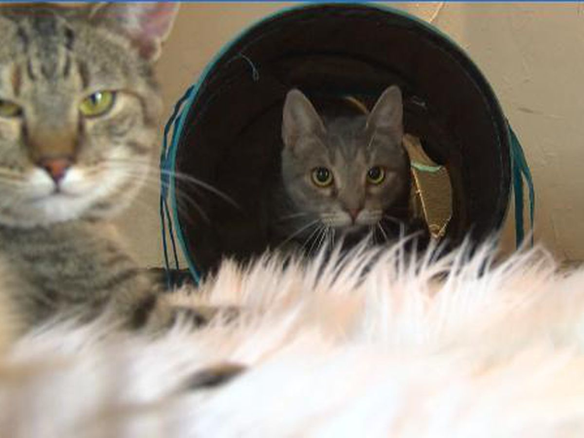 Charlotte's 'Cat Cafe' celebrating success stories with adoptions
