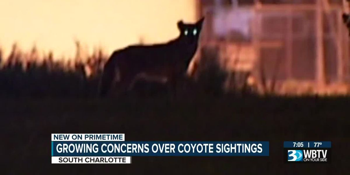 Neighbors worried about coyotes this fall, wildlife experts say they're on the move
