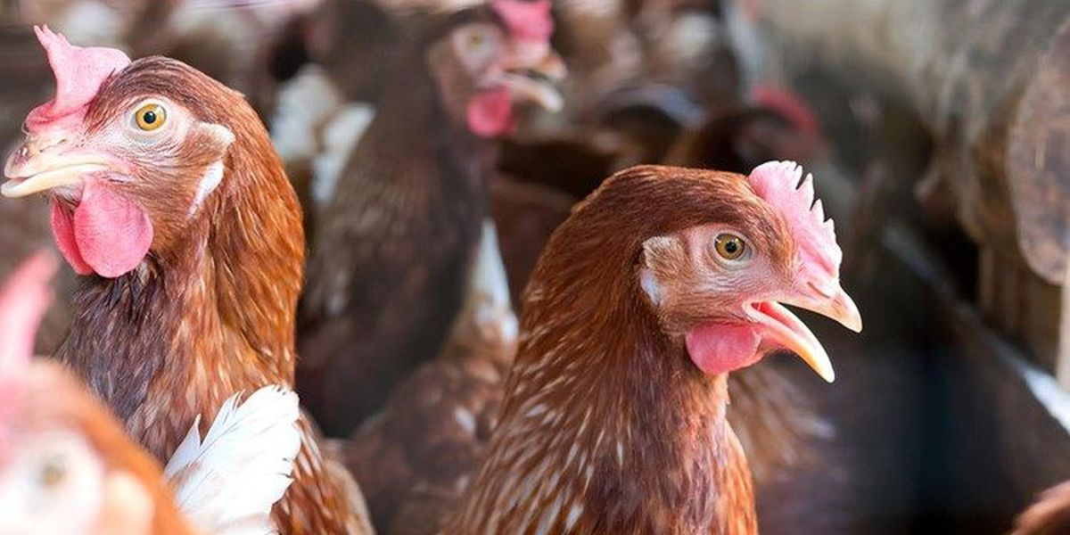 NC farmers start euthanizing 1.5M chickens amid pandemic
