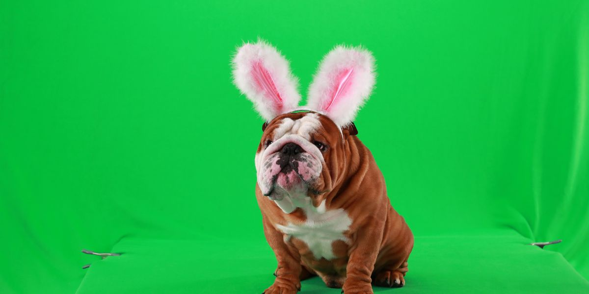 See Henri the English bulldog in Cadbury's new 'Clucking Bunny' ad