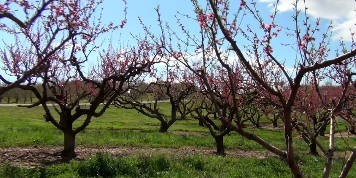 Freeze potential has N.C. fruit growers concerned