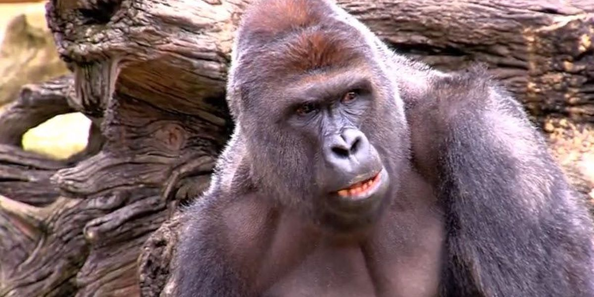 Tuesday marks 4 years since Harambe's shooting death at the Cincinnati Zoo