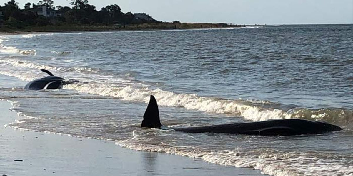 4 whales die after stranding themselves on SC beach