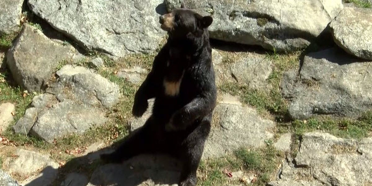 Bears on the move in N.C., mountain leaf-lookers warned to be on lookout