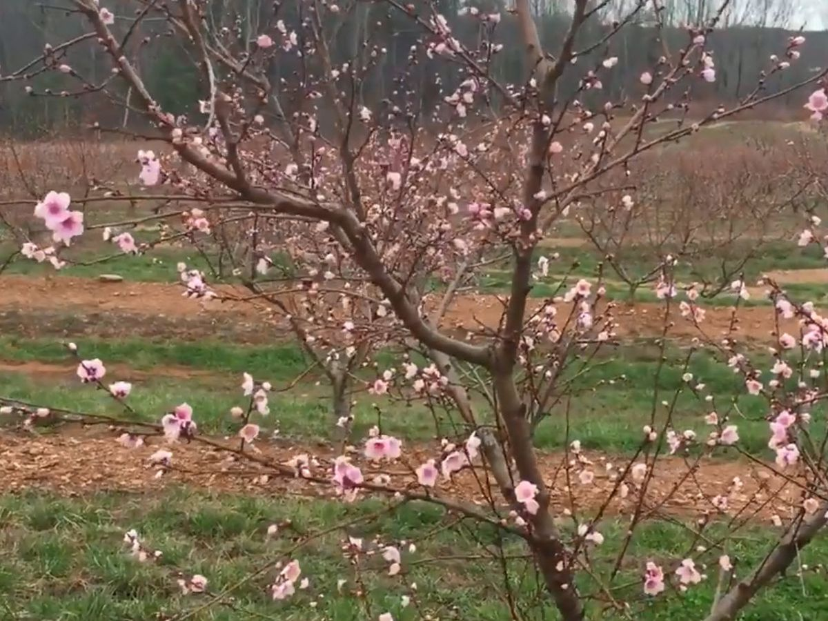 Some peaches blooming, but a deep freeze is looming
