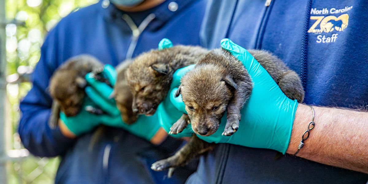 N.C. Zoo announces birth of dozen red wolf pups