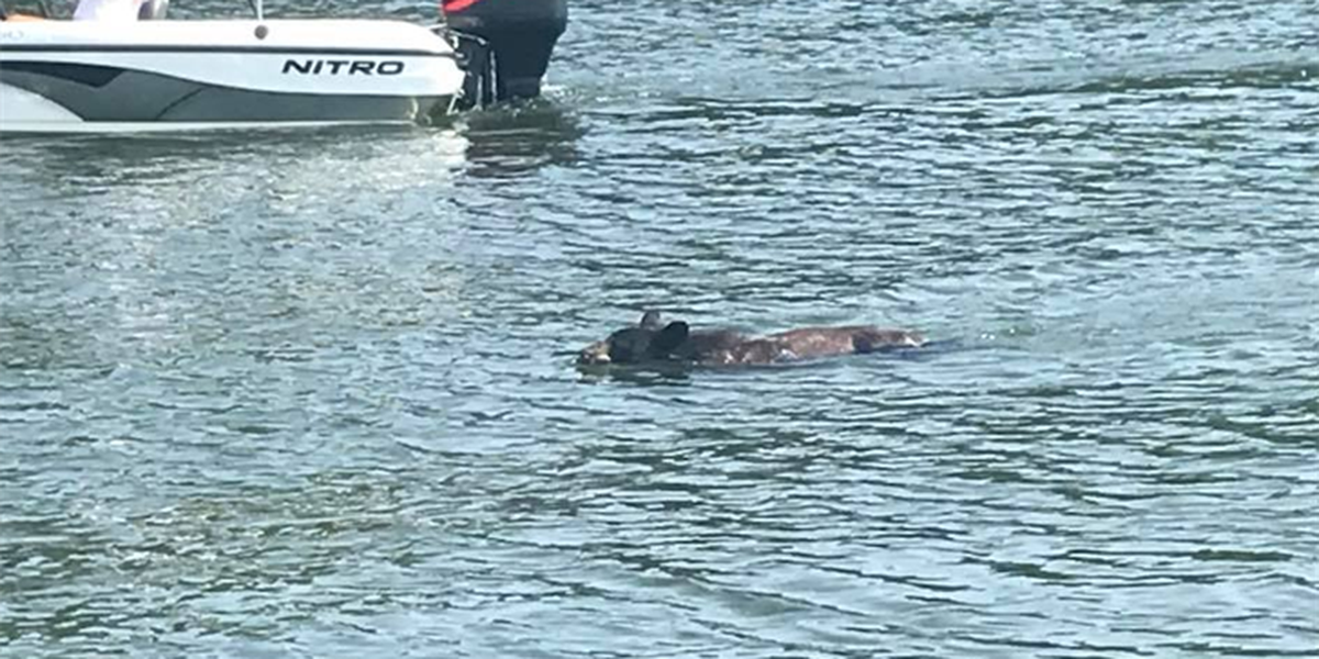 Bear seen swimming in Lake Wylie, crosses from NC to SC