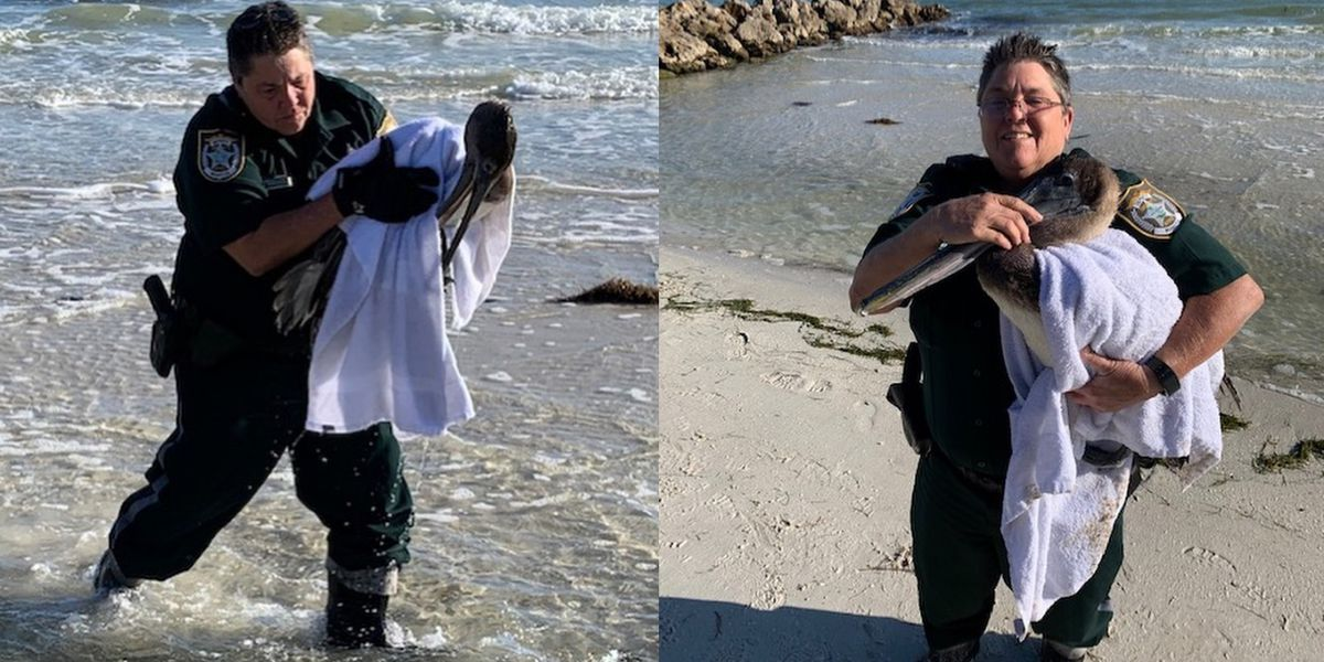 Deputies rescue pelican with fishing line around wing, bill and fish hook in mouth
