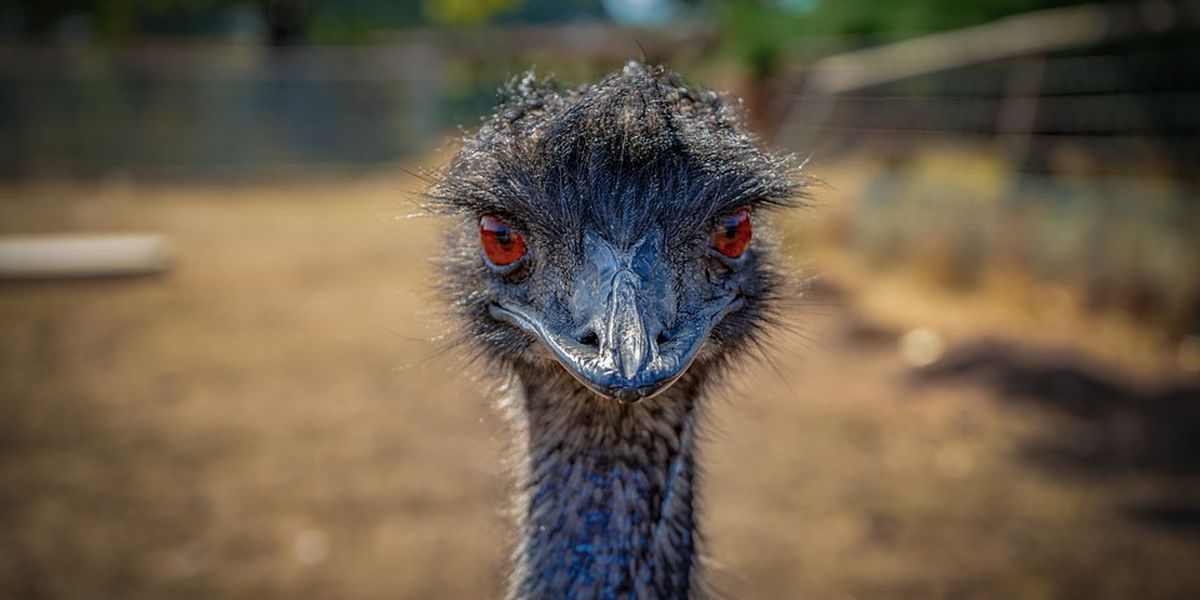 'Eno' the emu dies while being restrained during capture, N.C. officials say