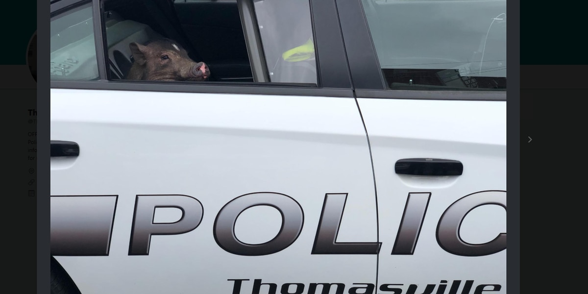 Small-town cops take ribbing over photos of pig detained in back of NC patrol car