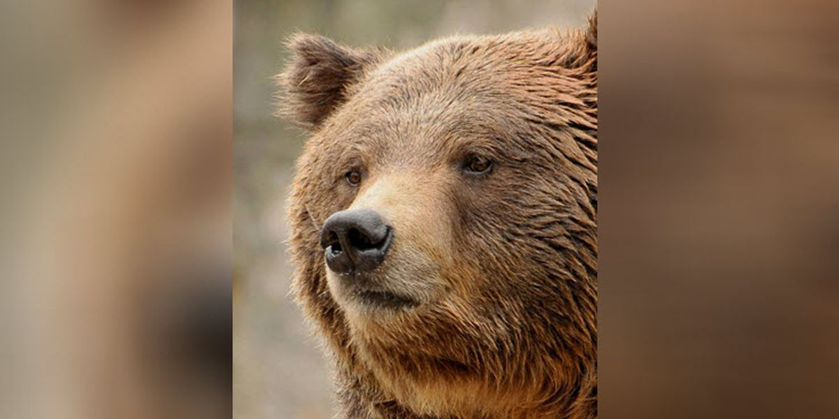 A beloved grizzly bear at the NC Zoo dies