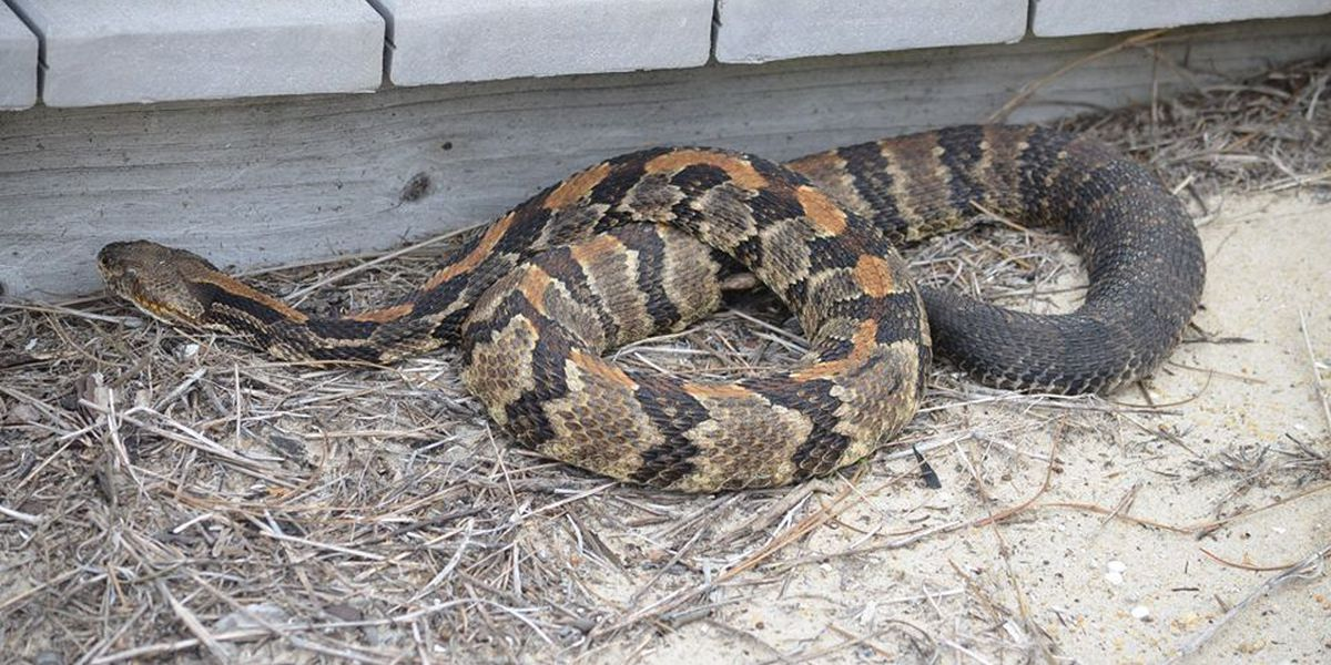 National Park Service warns tourists of timber rattlesnakes on NC's Outer Banks