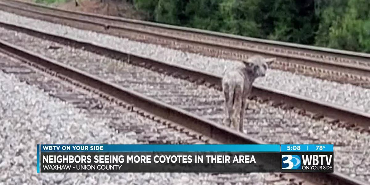 Union County residents seeing more coyotes in their area