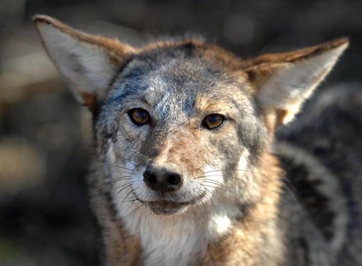 Chaotic front yard coyote attack leaves family's dog - and ...
