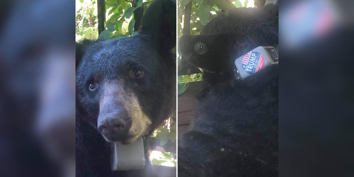 Person apologizes for putting Trump 2020 sticker on N.C. bear, group says