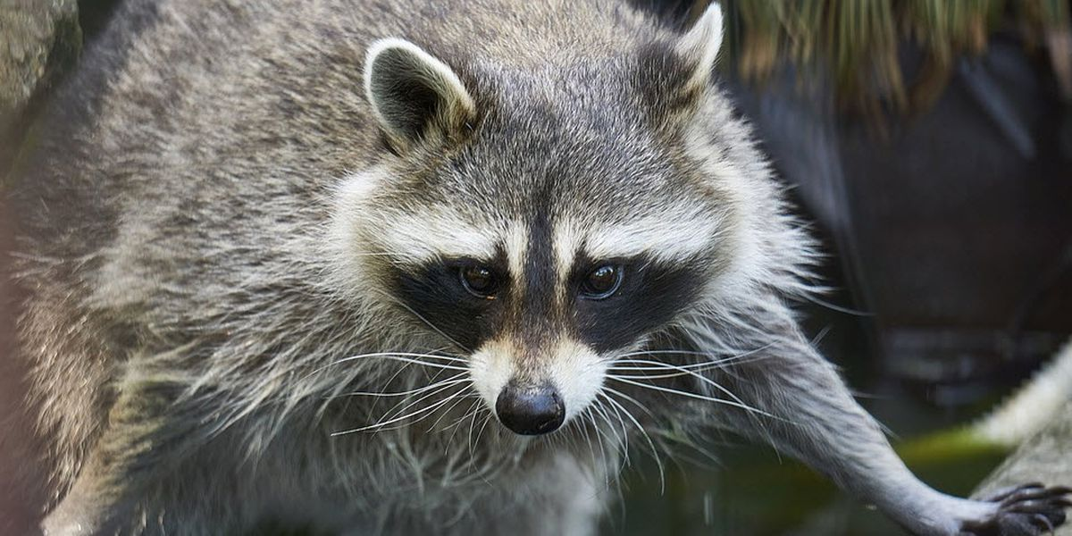 Raccoon tests positive for rabies after killing cat in Mint Hill