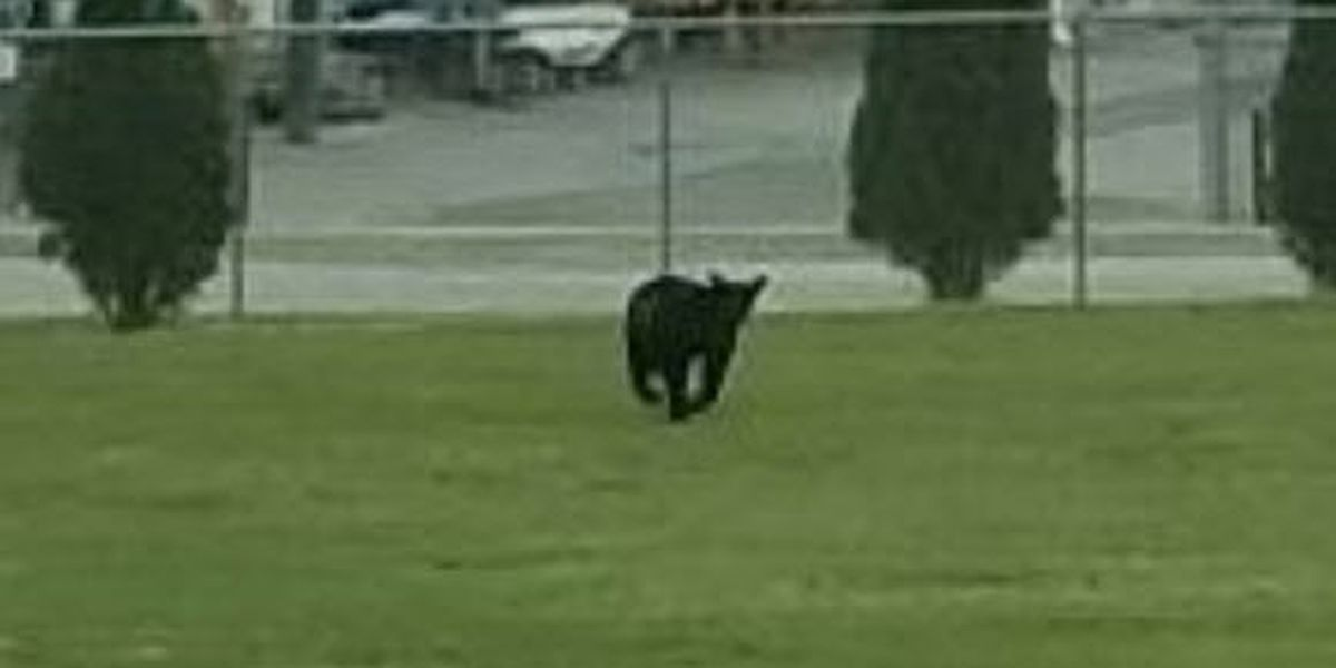 Bear sightings on the rise with one spotted in Lenoir