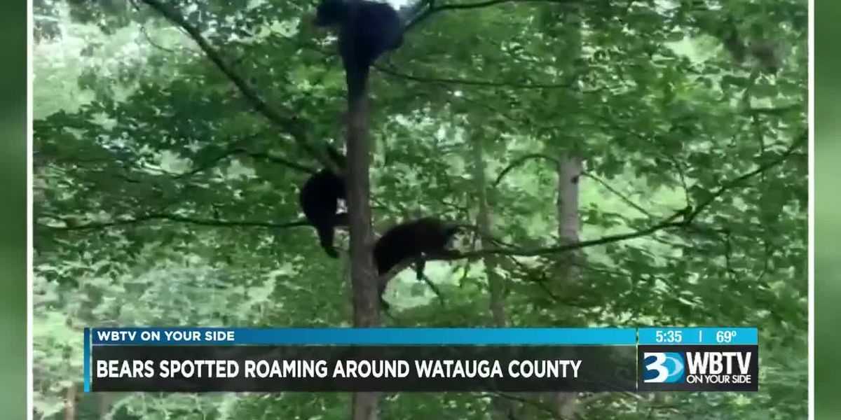 Bears spotted roaming around Watauga County