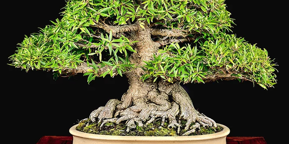 World class bonsai exhibition coming to Kannapolis this weekend