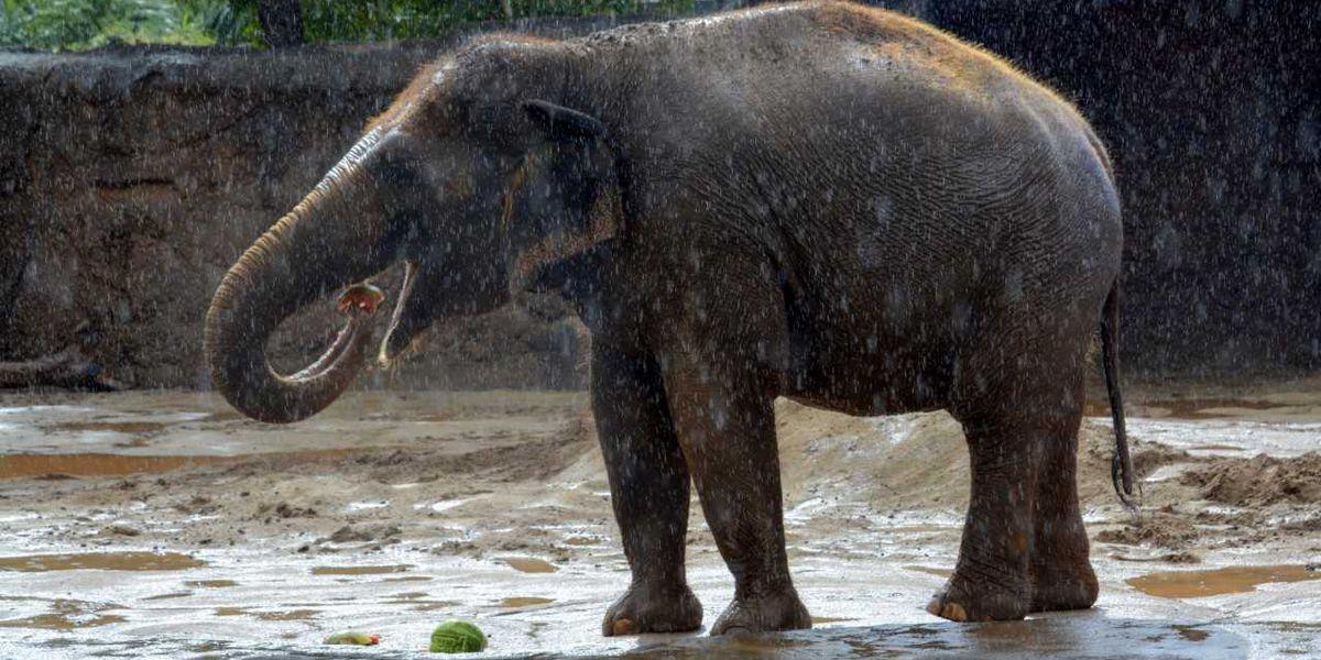 ICYMI: Honolulu Zoo's Vaigai the Elephant predicts Super Bowl winner will be...