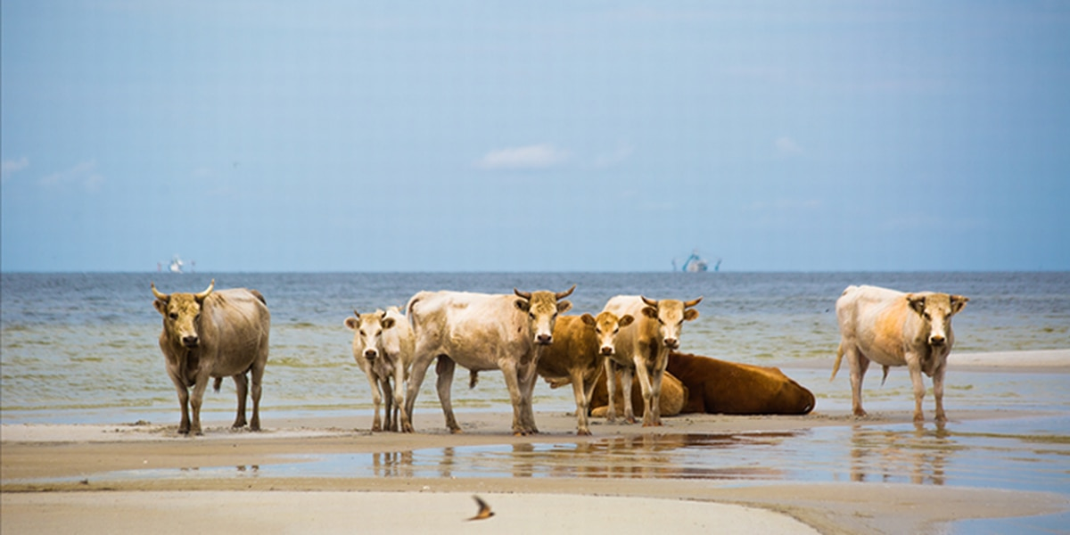Cow that swam 5 miles to Outer Banks in a hurricane was pregnant. She just gave birth