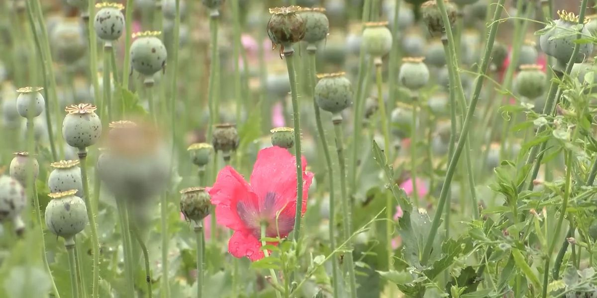 Charges dropped after massive 2017 poppy field bust in Catawba County