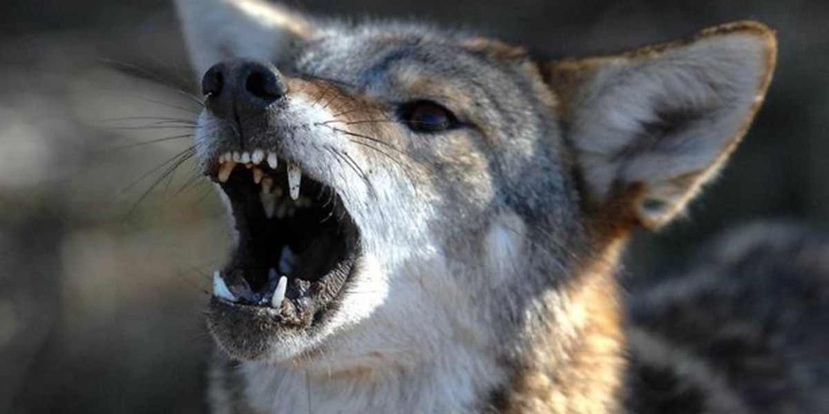 NC mom fights off coyote attacking daughter. 'It just wanted to eat me,' girl says.