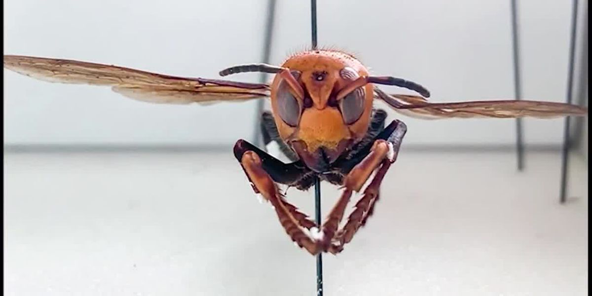 Washington officials captured their first invasive murder hornet, with less than two months until mating season
