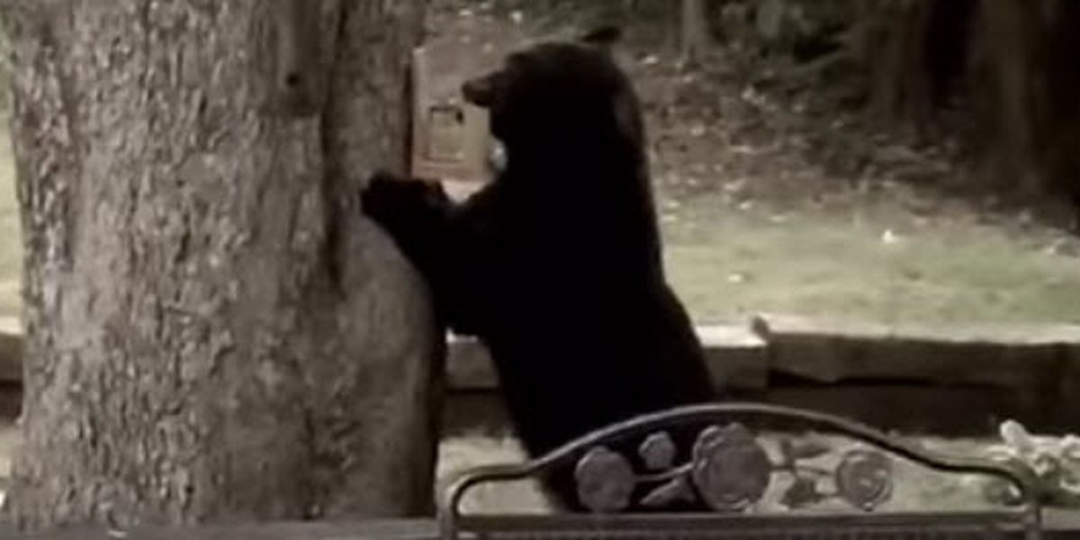 Police: Several bear sightings reported in York, SC