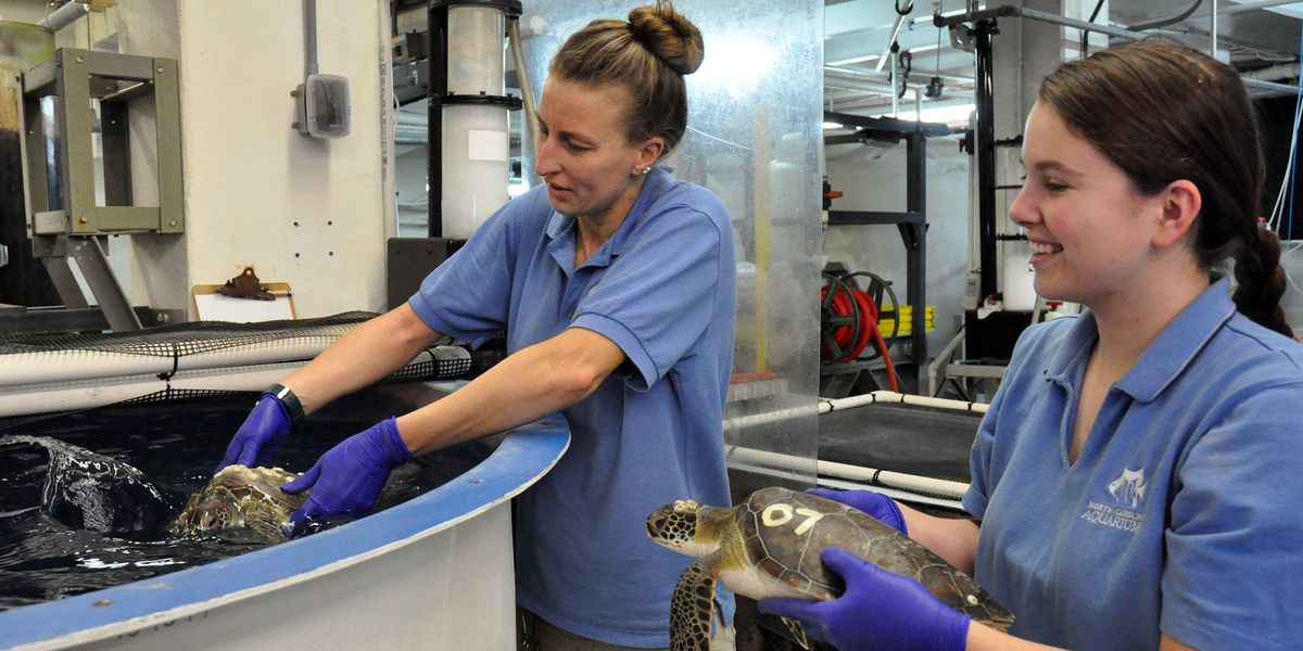 12 sea turtles to be released this week from NC Aquarium at Fort Fisher