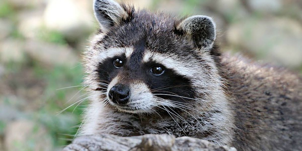 Raccoon attacked by dog in Catawba County tests positive for rabies