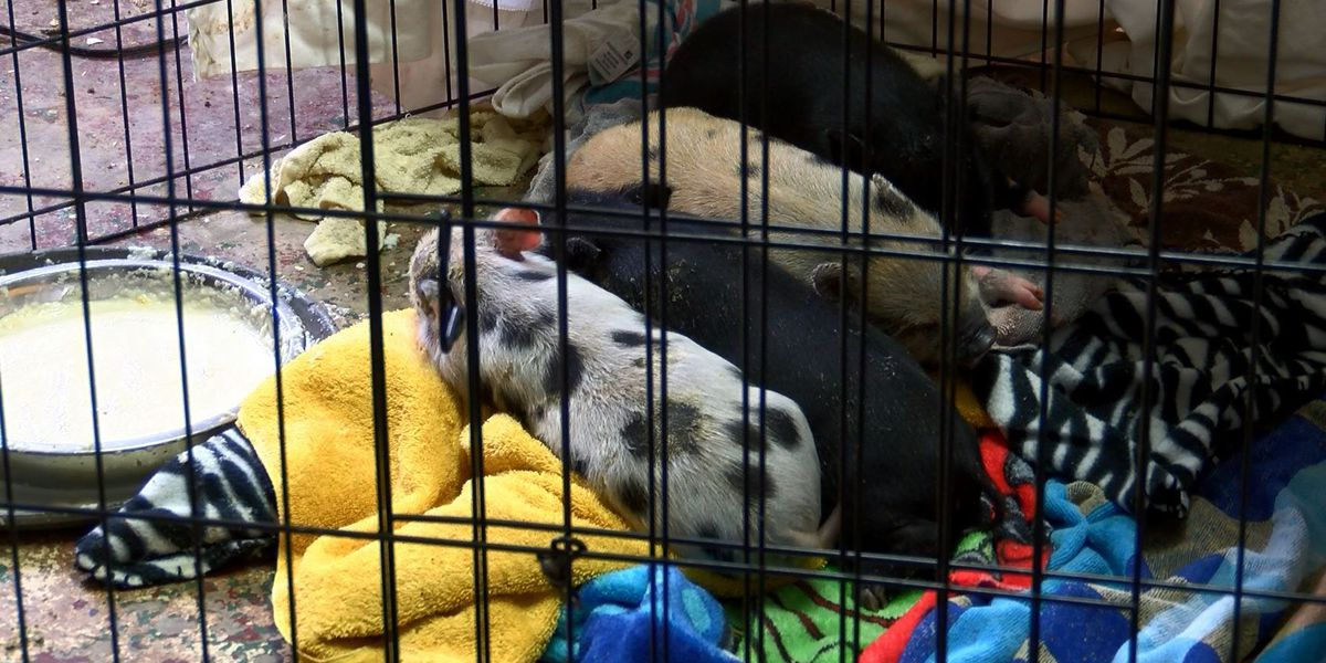 Piglets rescued from house fire being treated in Indian Trail