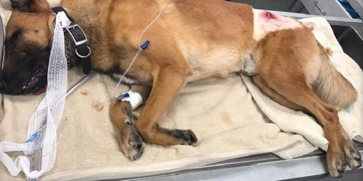 Hero police dog shot, credited with taking bullet meant for officer, sheriff says