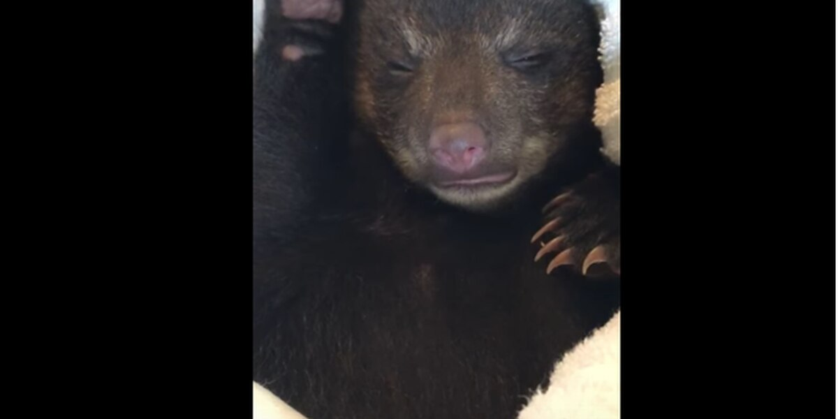 Tiny, abandoned baby bear 'rescued' by black Lab during hiking trip in NC mountains