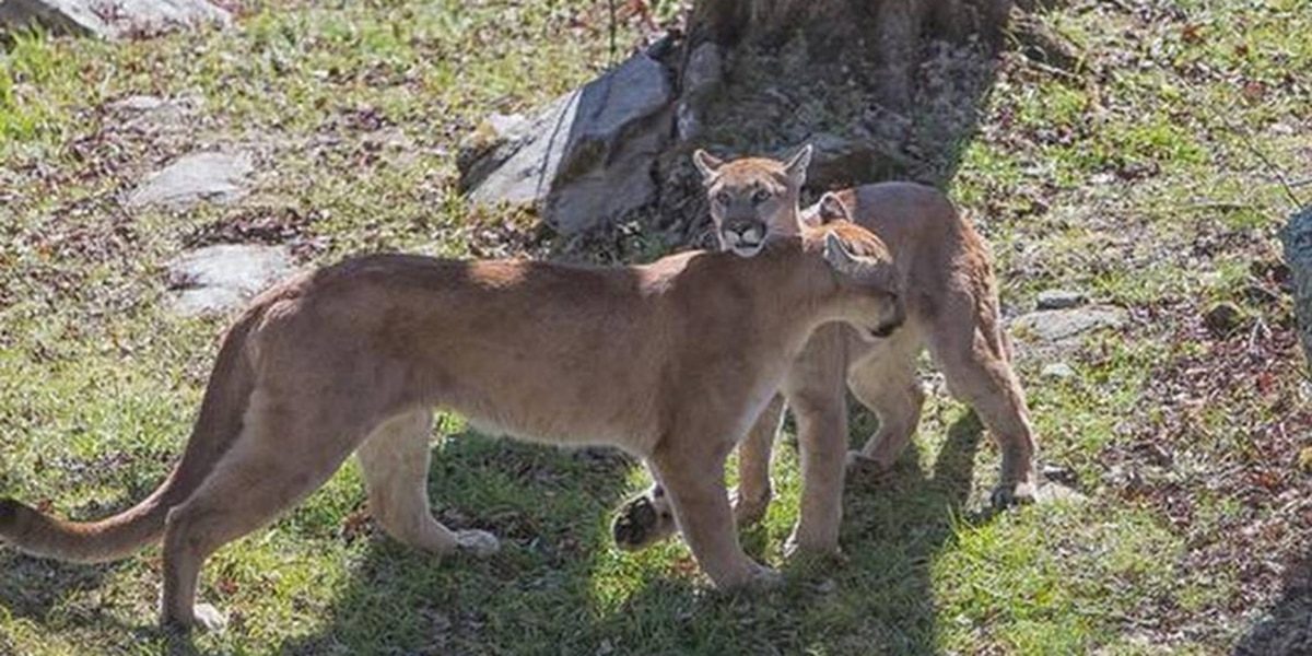 New rules could hurt N.C. cougars, bears, otters at Grandfather Mountain, critics say
