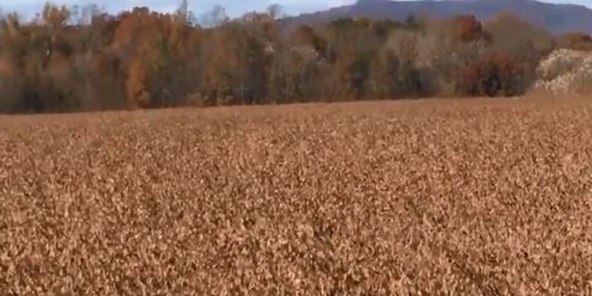 Local soybean harvest underway, farmers see prices down due to trade war