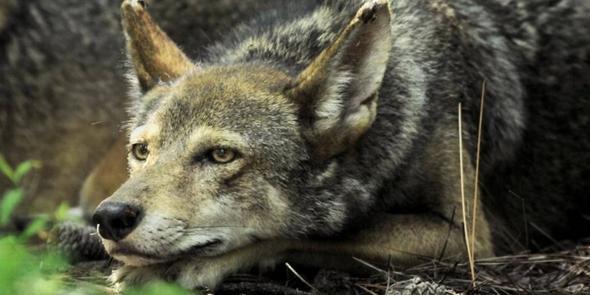 Red wolves have roamed NC for decades. A key Senate panel could hold their future.