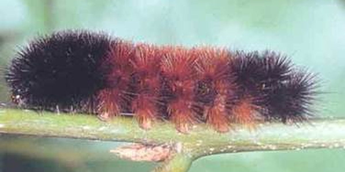 Annual Woolly Worm Festival in Banner Elk canceled due to COVID-19 outbreak