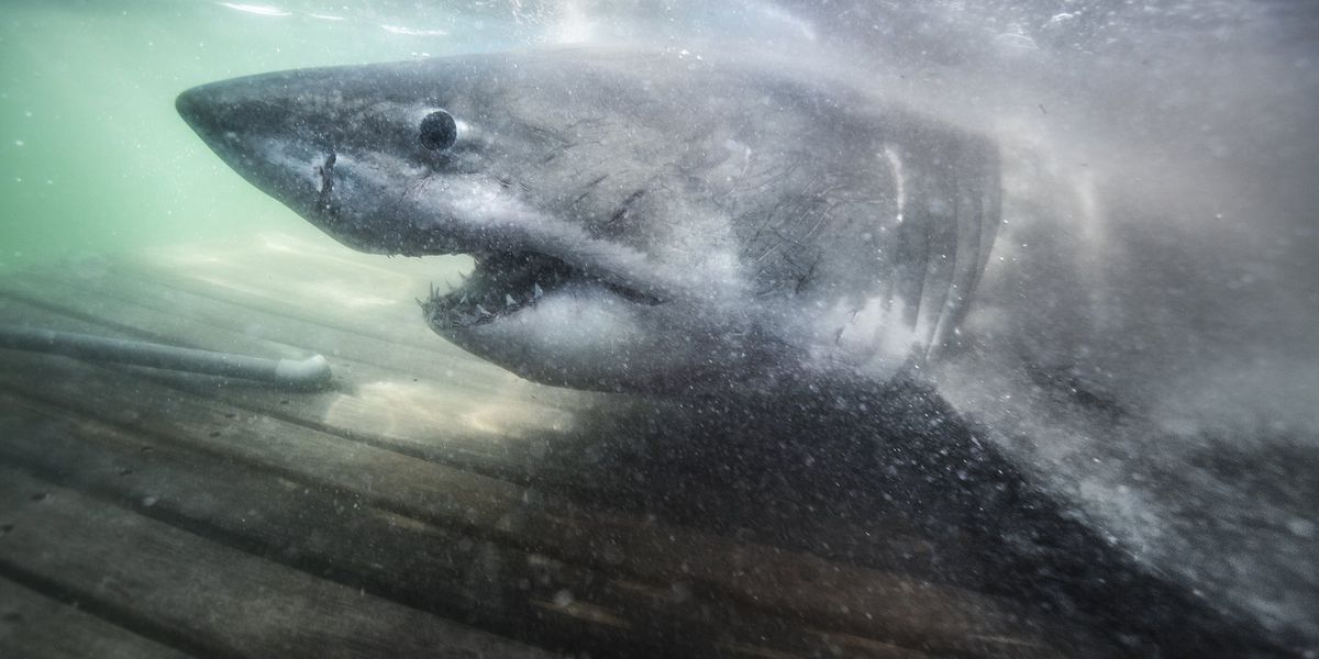 Great White Shark Tagged Off Canada Found Along Outer Banks
