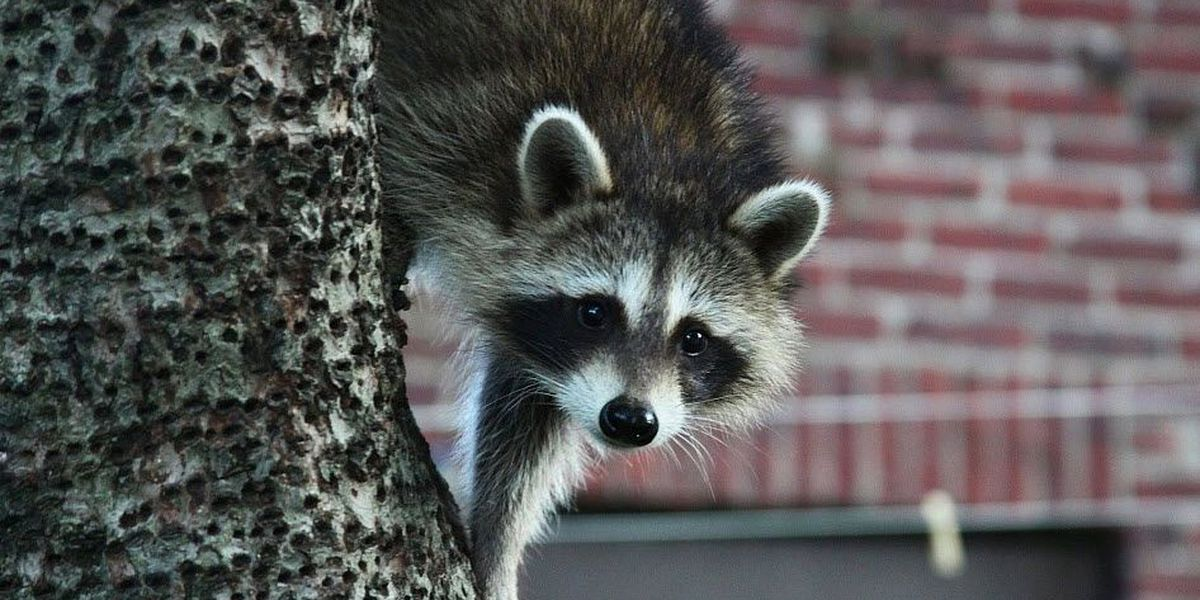 Raccoon found in Matthews tests positive for rabies