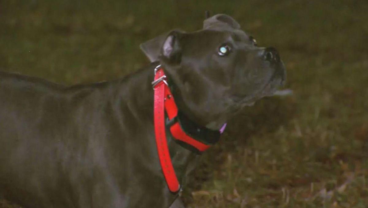 dog escapes coyote attack  captured on camera