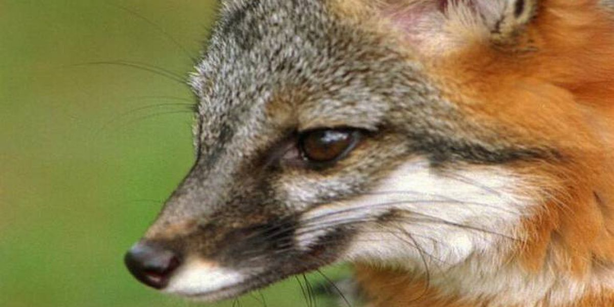 Crazed fox encounters NC family's young female pit bull-terrier. It was no match.