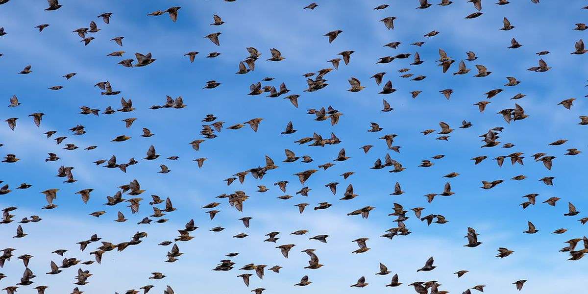 Thousands of birds descend on runway at NC airport, bringing air traffic to a halt